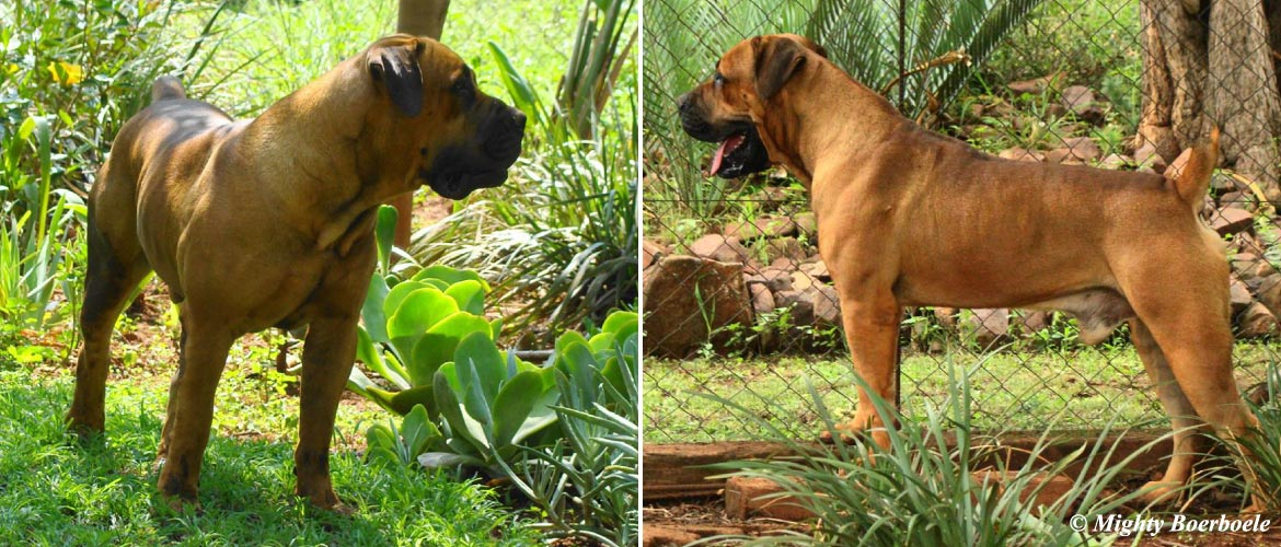 Killian Kratos | Mighty Boerboele | 100% Original Boerboel breeder since 2000