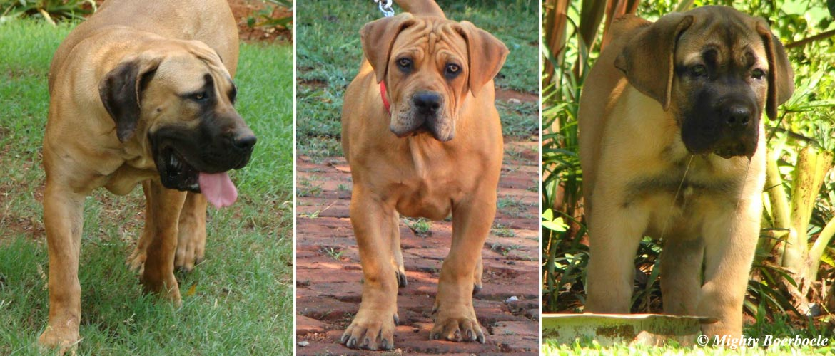 Mighty Boerboele | 100% Original Boerboel breeder since 2000