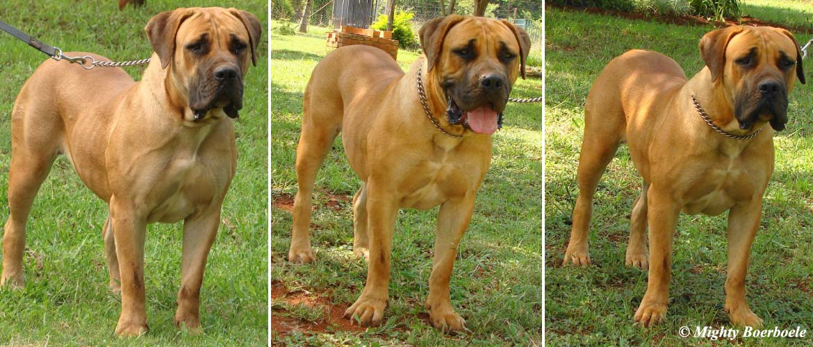 Mighty Kiama | Mighty Boerboele | 100% Original Boerboel breeder since 2000